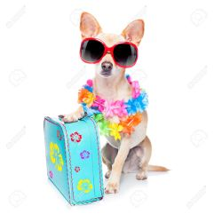 40575314-chihuahua-dog-with-bags-and-luggage-or-baggage-ready-for-summer-vacation-holidays-at-the-beach-isola-Stock-Photo