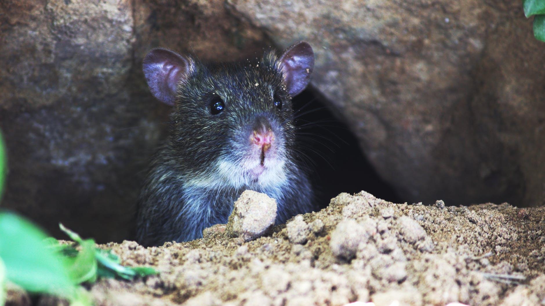 waiting hidden mouse